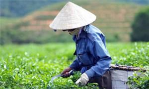 Viet-Nam-giu-vi-tri-trong-top-5-nuoc-xuat-khau-che-lon-nhat_404c-2418-4bb5-9fef-527aaf566e54