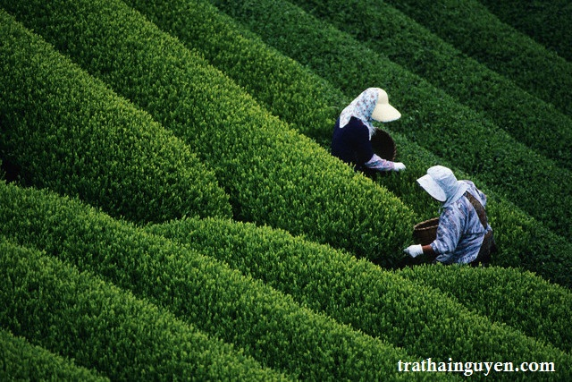 Women Harvesting Tea in Japan