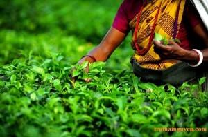 1342688249_Darjeeling-tea-d905c