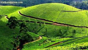 munnar-tea-garden-1cccf